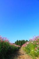 コスモス畑と小道