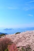 紫雲出山のサクラと瀬戸内海 11076007508| 写真素材・ストックフォト・画像・イラスト素材|アマナイメージズ