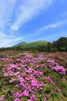 えびの高原 つつじヶ丘のミヤマキリシマと韓国岳