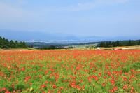 生駒高原 ポピーの花畑 11076008023| 写真素材・ストックフォト・画像・イラスト素材|アマナイメージズ