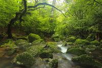 屋久島 白谷雲水峡 11076008097| 写真素材・ストックフォト・画像・イラスト素材|アマナイメージズ
