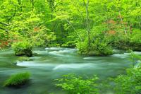 新緑の奥入瀬渓流 三乱の流れとツツジ