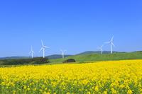 ナノハナ畑と風力発電の風車