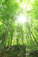 新緑のブナ林と光芒