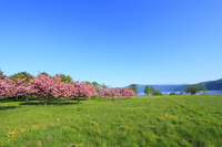 サクラとタンポポ咲く十和田湖より八甲田山を望む
