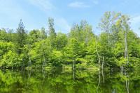 乗鞍高原 偲ぶの池の新緑