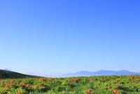 霧ヶ峰高原のレンゲツツジ 富士山と南アルプスを望む
