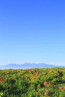 霧ヶ峰高原のレンゲツツジと南アルプス 11076008749| 写真素材・ストックフォト・画像・イラスト素材|アマナイメージズ