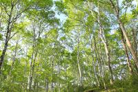 八千穂高原 新緑の白樺林 11076008821| 写真素材・ストックフォト・画像・イラスト素材|アマナイメージズ