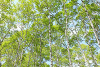 八千穂高原 新緑の白樺林