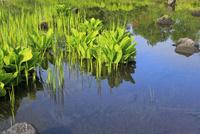 乗鞍高原 まいめの池のミズバショウの葉