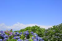 アジサイの花と青空 11076008855| 写真素材・ストックフォト・画像・イラスト素材|アマナイメージズ