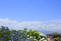 アジサイの花と青空 11076008858| 写真素材・ストックフォト・画像・イラスト素材|アマナイメージズ