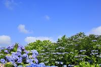 アジサイの花と青空 11076008859| 写真素材・ストックフォト・画像・イラスト素材|アマナイメージズ