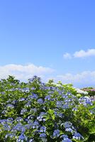 アジサイの花と青空 11076008861| 写真素材・ストックフォト・画像・イラスト素材|アマナイメージズ