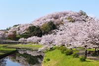 三室山と竜田川のサクラ