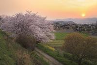 大和川堤のサクラと夕日