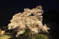 仏隆寺参道の千年桜 ライトアップ夜景