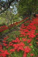 仏隆寺参道のヒガンバナ 11076009117  写真素材・ストックフォト・画像・イラスト素材 アマナイメージズ