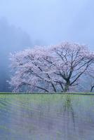 諸木野の牛繋ぎの桜