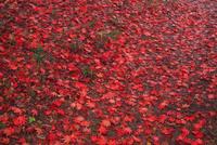鳥見山の散り紅葉