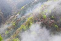 旧行者還林道の新緑とヤマザクラ