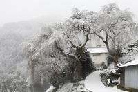 貝原のシダレザクラと雪景色