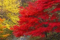 みたらい渓谷の紅葉 11076009245  写真素材・ストックフォト・画像・イラスト素材 アマナイメージズ