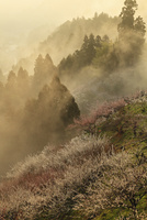 賀名生梅林と雲海の朝焼け