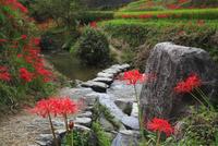 飛鳥川の飛び石とヒガンバナ 11076009294  写真素材・ストックフォト・画像・イラスト素材 アマナイメージズ