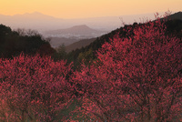尾曽の紅梅と夕焼け 二上山と畝傍山