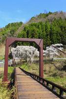 魚ヶ渕のシダレザクラと吊り橋