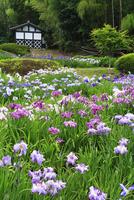 亀山公園のハナショウブ