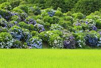 大師の里 アジサイと早苗田 11076009391| 写真素材・ストックフォト・画像・イラスト素材|アマナイメージズ