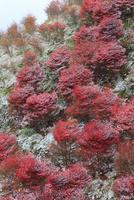 高野龍神スカイライン ドウダンツツジの紅葉と雪景色