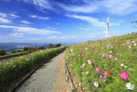鷲ヶ峰コスモスパーク 風車とコスモス