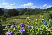 熊野古道中辺路 高原霧の里 棚田とアジサイ 11076009497| 写真素材・ストックフォト・画像・イラスト素材|アマナイメージズ