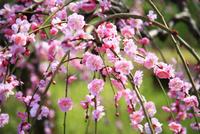 賀名生梅林 ウメの花