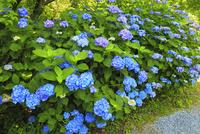 アジサイの花 11076009667| 写真素材・ストックフォト・画像・イラスト素材|アマナイメージズ