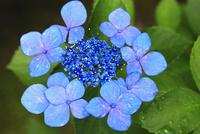 ガクアジサイの花 11076009668| 写真素材・ストックフォト・画像・イラスト素材|アマナイメージズ