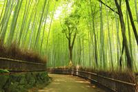 嵯峨野の竹林と道