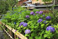 アジサイの花咲く祇園白川 11076009691| 写真素材・ストックフォト・画像・イラスト素材|アマナイメージズ