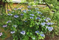 アジサイの花咲く祇園白川 11076009692| 写真素材・ストックフォト・画像・イラスト素材|アマナイメージズ