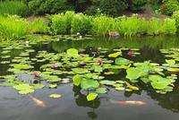 スイレンの花と鯉