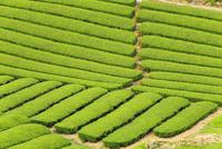 宇治茶の茶畑