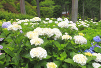 アジサイの花 11076009728| 写真素材・ストックフォト・画像・イラスト素材|アマナイメージズ