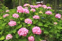 アジサイの花 11076009729| 写真素材・ストックフォト・画像・イラスト素材|アマナイメージズ