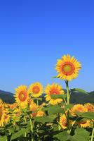 ヒマワリの花 11076009738| 写真素材・ストックフォト・画像・イラスト素材|アマナイメージズ