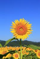 ヒマワリの花 11076009743| 写真素材・ストックフォト・画像・イラスト素材|アマナイメージズ