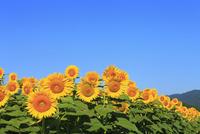 ヒマワリ畑 11076009745| 写真素材・ストックフォト・画像・イラスト素材|アマナイメージズ